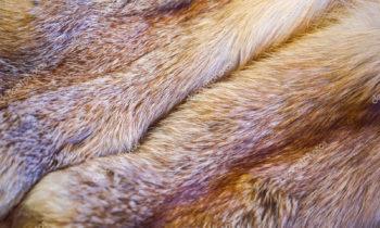 Red fox skin Marc Kaufman Furs